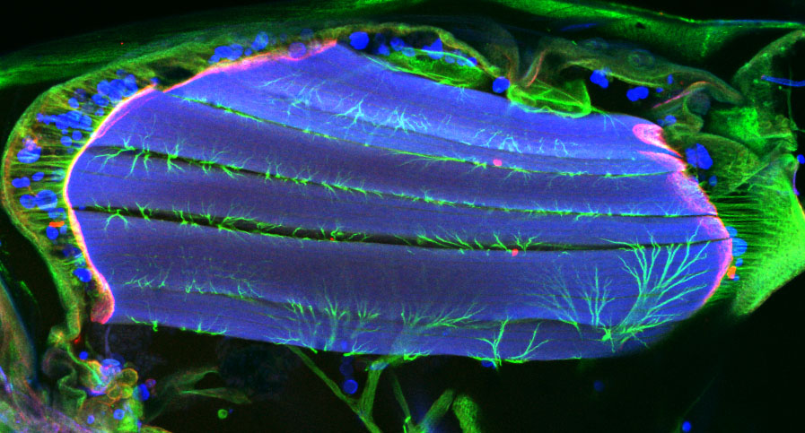 The image shows a Drosophila pupa (age: 56 hr): in blue are the muscles stained with phalloidin (also labelling hemocytes), in red the muscle-tendon attachments and in green the tendons and the tracheal cells.