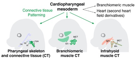 Cartoon showing the derivatives of cardiopharyngeal mesoderm at mouse embryonic day 15.5, including known contributions to branchomeric craniofacial muscles and the heart and new derivatives identified in this study. These include medial pharyngeal skeletal components (mps), as well as branchimeric (bm) and somite-derived infrahyoid (ifm) neck muscle connective tissue (MCT). Other pharyngeal skeletal elements and tongue muscle (tgm) connective tissue are derived from neural crest cells: mc, Meckel's cartilage; hb, hyoid bone; th, thyroid cartilage.